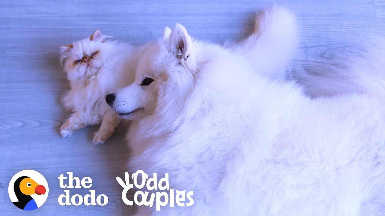 Grumpy Cat Slowly Becomes Obsessed With His Dog Brother   The Dodo Odd Couples