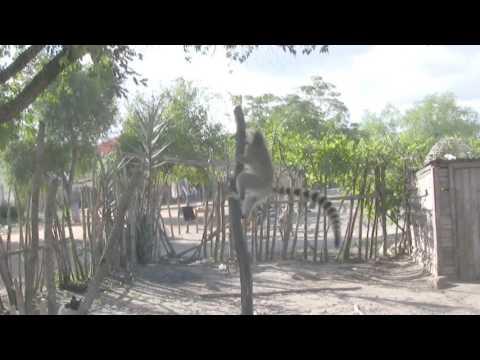Lemur vs cat