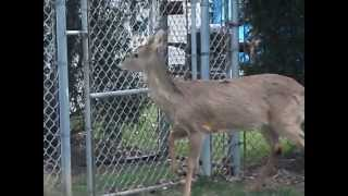 Deer in my backyard, jumping the fence and trying to get out.
