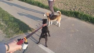 Morning stroll dog patterdale/fell/lakeland terrier