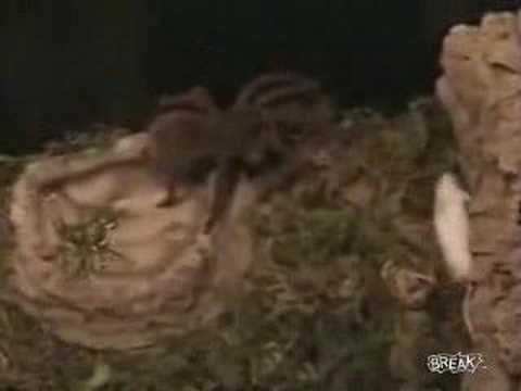 Watch a giant spider attack an opossum - news - att.net