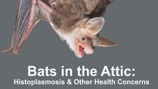 Bats in the Attic: Histoplasmosis & Other Health Concerns