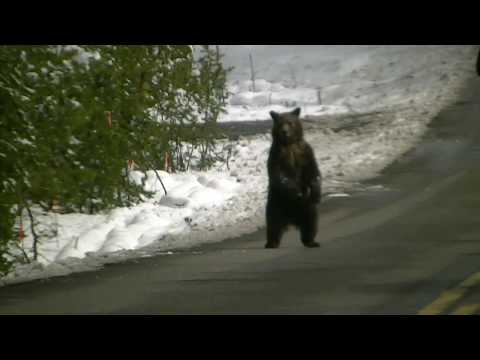 Lost Grizzly Cub Reunites With Mom - Yellowstone