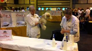 Supreme Cat Show 2013 - Judging