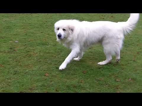 Yogi  Pyrenean Mountain dog mooching,