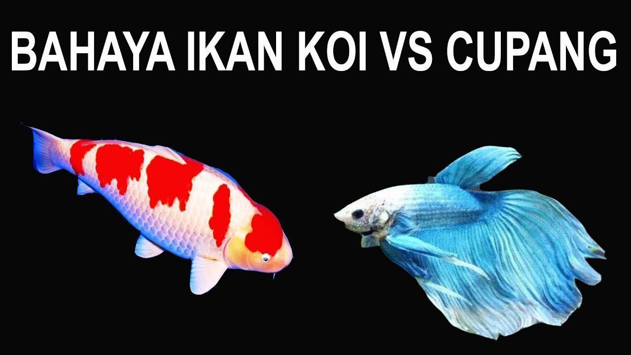 Eksperimen Ikan Cupang Vs Ikan Koi Di Makankah Youtube