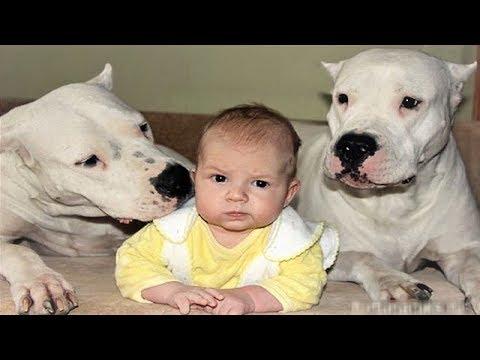 DOGO ARGENTINO DOG BABYSITTER | Dog loves Baby Videos