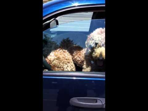 Dog honks car horn with butt