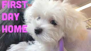 Bringing Home Princess Leia the Maltese (Puppy First Day Home)