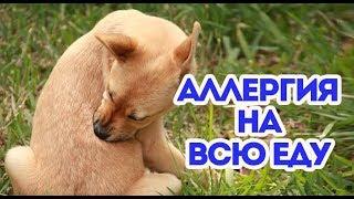 У собаки аллергия на любую еду, как лечить? Водка и яйцо. ВетОтвет.