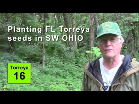 Planting Florida Torreya Seeds in SW OHIO - assisted migration