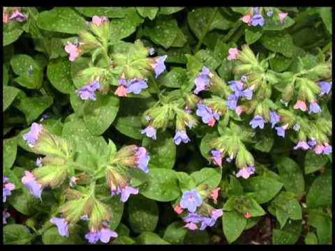 beneficios para la salud de la planta de zarza | Doovi