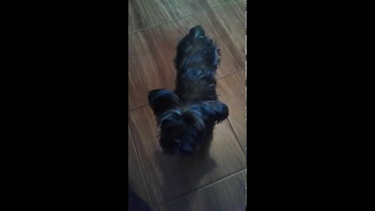 Real Black Yorkshire Terrier Youtube