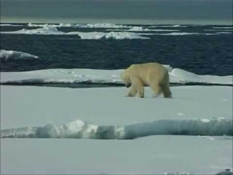 King of Arctic - Polar Bear