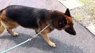 2歳になった娘と愛犬シェパードの散歩です。 シェパードの他にMダックス...