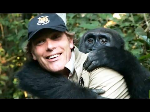 Emouvant : ce gorille revoit l'homme qui l'a élevé 7 ans plus tard - ZAPPING SAUVAGE