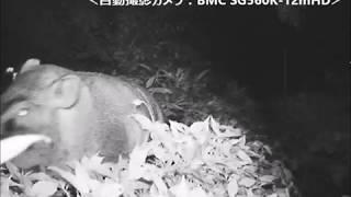 大磯町(神奈川県)の畑地で撮影されたイノシシです。撮影機種は、BMC S...