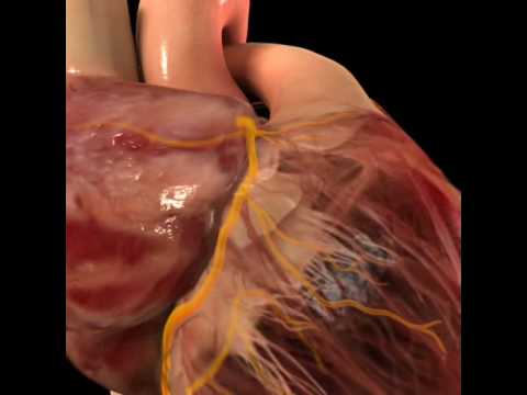 Corazón 3. Arterias.avi - YouTube