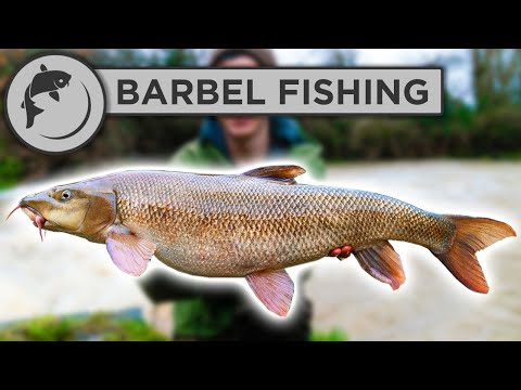 How To Catch BARBEL - A Simple Guide To Barbel Fishing