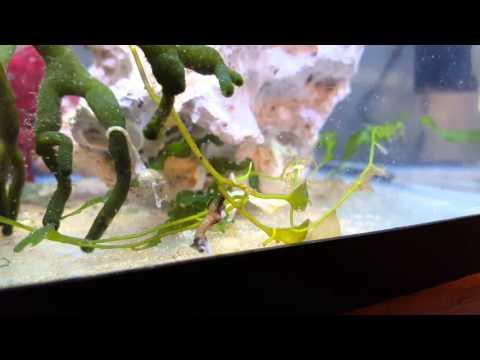 Dwarf Seahorses feeding