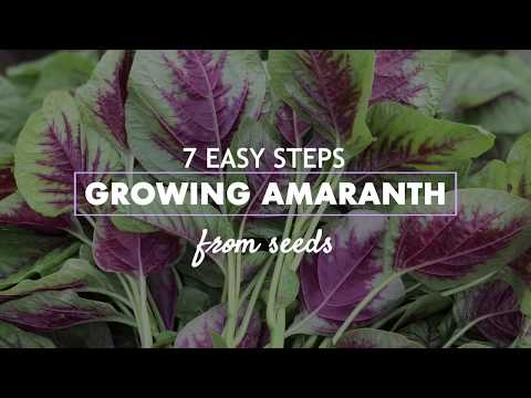 Easy Steps L Growing Amaranth From Seeds
