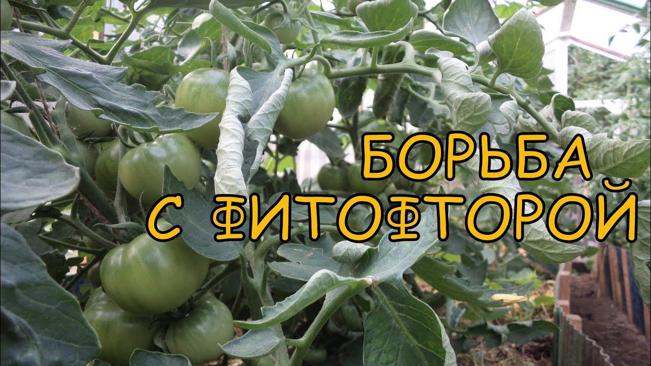 Картинки по запросу томаты до и после фитофторы