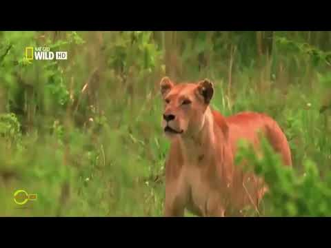 Wild animals fight for survival - Brown bear, Cuttlefish, Clouded Leopard, Fire Ant