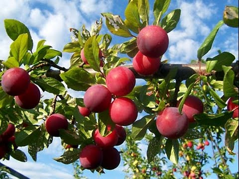 How To Prune An Old Non Fruiting Disbalanced Multi Grafted Plum Pluot Tree