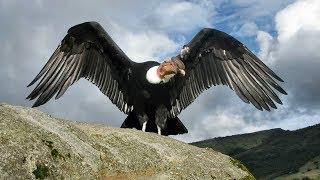 Самые большие птицы на планете! Пернатые гиганты...