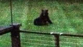 Bear in my Backyard Thumbnail