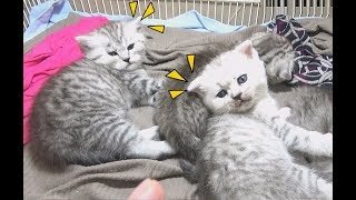 Kittens Look At Me So Cute | Funny Kitten Two Weekend