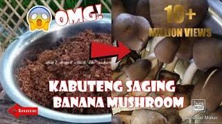 Actual planting banana mushroom (kabuteng saging)