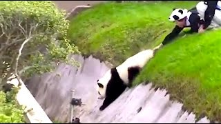 Ozzy Man Reviews: Pandas