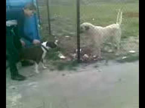 American Pitbull Terrier Vs Kurdish Kangal Dog Fight 2008