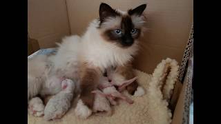 Birman Kittens - The journey from birth to new homes. VLOG #1