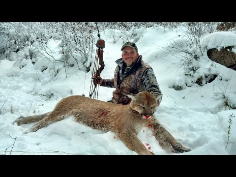 Jeff Davis's Big Idaho Mountain Lion Shot With A Border Archery CH Recurve