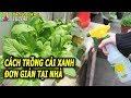 Tự trồng rau cải xanh tại nhà với cách làm cực đơn giản vừa an toàn đảm bảo