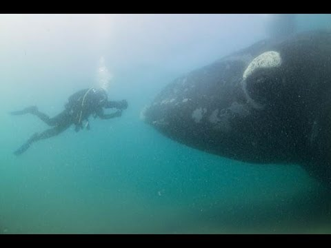 Approached by Southern Right Whales in Patagonia