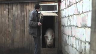 Свиньи.mp4
