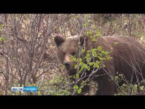 В Магадане медведь загрыз быка из стада фермера