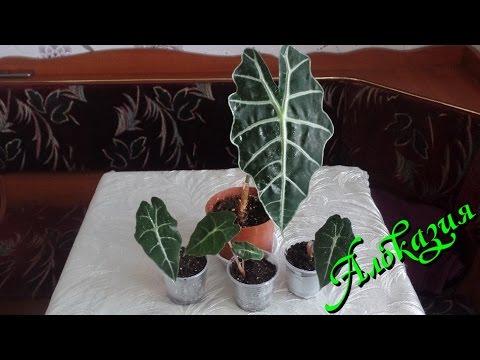 Комнатное растение алоказия. Уход и содержание в домашних условиях. Часть 3-я