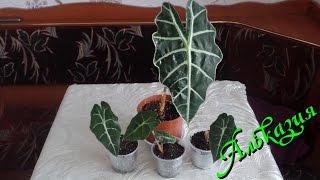 видео Цветок алоказия: уход, лечение алоказии. Комнатное растение алоказия полли, амазонская крупнокорневая, алоказия сандера, одора, арма, калидора.