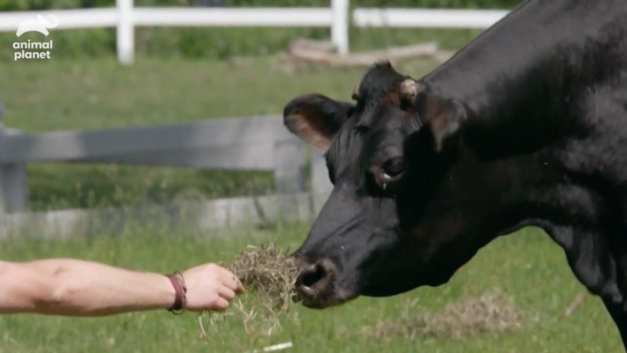 【動物たちの楽園ファーム】人間を怖がり突進威嚇してくる牛 無事ファームに連れて帰れるのか?