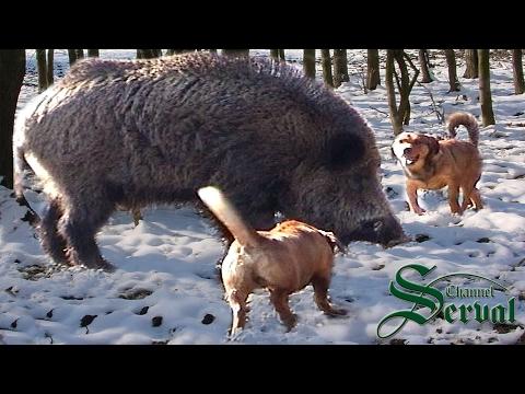 Wild Boar Hunting in Croatia, Kalnik 2016 part 4, Kroatische Keiler 4 - Kalnik 2016. Drückjagd