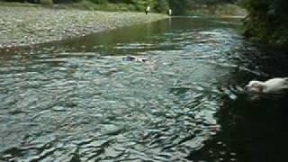 でか犬たちと京都で川遊び.