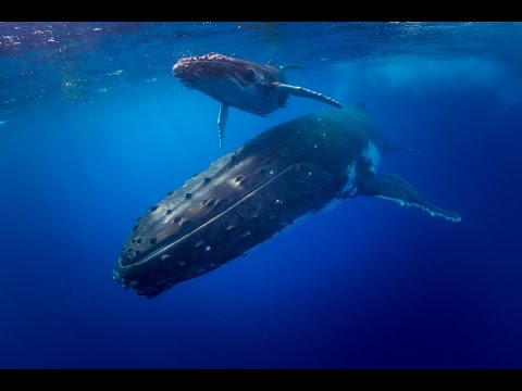 Swim with Humpback Whales - Tonga