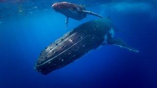 Swim with Humpback Whales - Tonga