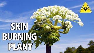 Poisonous Giant Hogweed + Autumn Edibles & Fungi