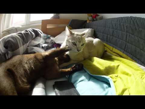 Burmilla Max and burmese cat Jimmy fighting