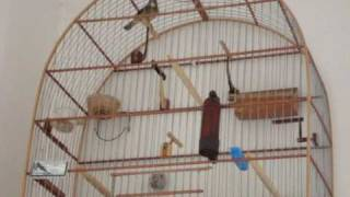 Coleiro Pardo Espetacular de Barra Bonita - 3ª nota - Vídeo 3